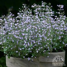 Calamintha nepeta 'Marvelette Blue' Late summer bloom