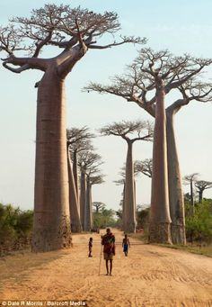 Baobab trees line a road in Madagascar.  I SO love these weird and wonderful trees.