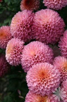 Chrysanthemum 'Purple Fairy' Light:Sun,Part Sun Zones:5-9 Plant Type:Perennial Plant Height:1-3 feet tall Plant Width:1-3 feet wide Landscape Uses:Containers,Beds & Borders,Groundcover Special Features:Flowers,Fall Color,Cut Flowers,Easy to Grow