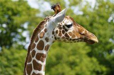 Giraffe, Zoo, Whipsnade, Bedfordshire, Tier, Natur