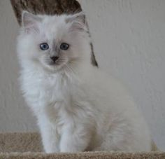 Lilac Ragdoll kitten                                                                                                                                                                                 More