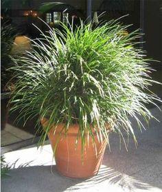 Liriope muscari Evergreen Giant - Pépinière, plantes, jardinerie, vente en ligne