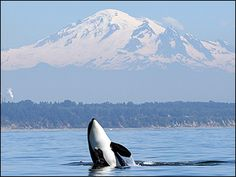 Puget Sound Orcas  Washington