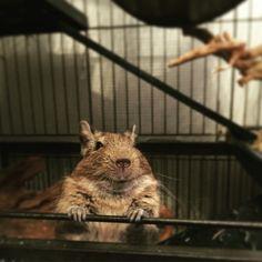 He's saying Hello ! #degu #degue #degueduchili #octodon #animals #animal