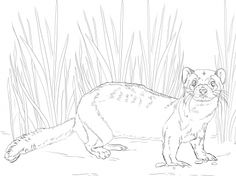 American Polecat Or Black Footed Ferret Coloring Page From Ferrets Category Select 28368 Printable Crafts Of Cartoons Nature Animals Bible And Many