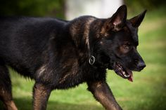 Black Sable German Shepherd | My puppy is a regular sable, not a black sable
