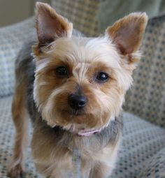 Meet Pocket, a Petfinder adoptable Yorkshire Terrier Yorkie Dog | Greensboro, NC | Breed:  Yorkshire Terrier (Yorkies)Name:  Pocket (Female) and Zipper (Male)Approximate Age:  Pocket...