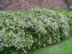 Indian Hawthorn Hedge