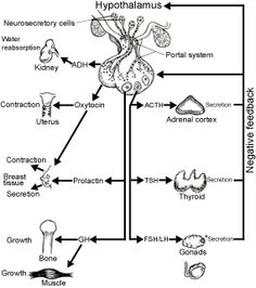 Major human endocrine glands and some of their hormones