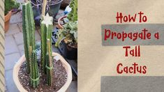San Pedro Cactus Propagation Tall Cactus, San Pedro Cacti, Propagation, Balcony Garden, Tropical Plants, Container Gardening, House Plants, Sassy, The Creator