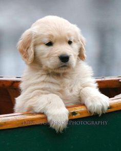 Golden Retriever Puppy in Canoe ~ Baby Dog Boat Ride ~ Professional Photograph Print Dogs Golden Retriever, Retriever Puppy, Golden Retrievers, Cute Puppies, Cute Dogs, Dogs And Puppies, Baby Animals, Cute Animals, Dog Rates