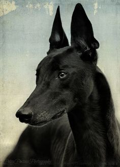 Black galgo is beautiful black Greyhound with ears like a devil and eyes like a God Beautiful Dogs, Animals Beautiful, Ibizan Hound, Pharaoh Hound, Grey Hound Dog, Tier Fotos, Italian Greyhound, Old Dogs, Dog Photography