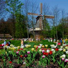 Windmills and flowers in Holland