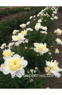 Polar Star Peony — Countryside Gardens, Inc. Yellow Peonies, Buy Peonies, Countryside, Bloom, Seasons, Stars, Peony, Flowers, Garden Ideas