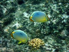 Indian Ocean Melon butterflyfish on Koh Racha Yai Island Thailand   Endless Wildlife