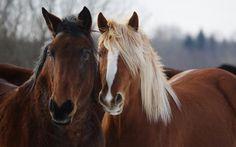 Halfinger Horses, Beautiful horses, Horse breeds