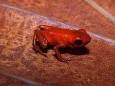 La foresta pluviale brasiliana ci riserva ancora delle sorprese: sono state infatti scoperte sette nuove specie di mini rane, tanto piccole quanto sgargian