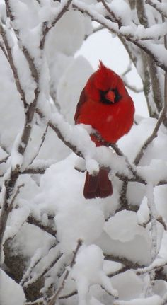 Beautiful Cardinal. This is what my office view often looks like when it snows. Snow covered branches with cardinals dotted here and there. The contrast in color is striking.