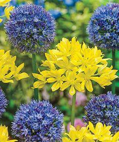 Swedish Flag Allium Duet Bulb - Set of 50 by Spring Hill Nursery #zulily #zulilyfinds