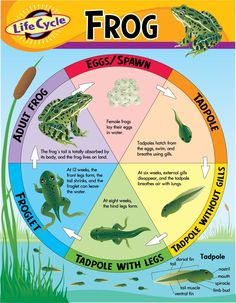 The Life Cycle Of A Frog | Wikybrew.com