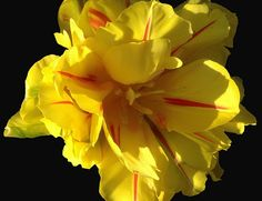 macro photography, tulip, variegations, yellow, red, spring, garden, sun, nature