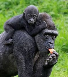 Image result for photo gorilla from behind baby on back