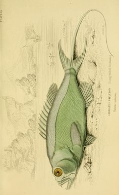 v. 38: Ichthyology v. 4 (Fishes of the Perch Family) - Ichthyology / - Biodiversity Heritage Library