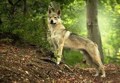 Casyas Corda Elizabeth Luporum (foto: Radoslav Valo) Baby Dogs, Dogs And Puppies, Czechoslovakian Wolfdog, Art Story, Beautiful Dogs, Funny Babies, Predator, Dog Pictures, Wolves