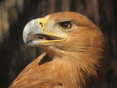 Águila imperial 14-0029  Aunque pueda parecer increíble esta hembra de águila imperial ibérica mostraba simultáneamente sobre su cuerpo los efectos de dos de las grandes lacras que recaen en la actualidad sobre nuestra fauna salvaje: electrocución y disparos. http://buscopadrino.grefa.org/producto/aguila-imperial-14-0029/