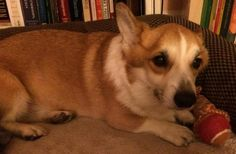 Simon - Courtesy Post!! <3 4 yr Welsh Pembroke Corgi, 27 lbs. Gets along well w/ Kids & Dogs, although he is not crazy about Cats. Housetrained & walks well on leash. Knows SIT, DOWN, PLAY DEAD & ROLL OVER! Charming, mild mannered gentleman. SPECIAL NEEDS guy w/ Epilepsy & experiences cluster seizures every 2 wks or so. Medical bills vary depending on his condition, but run as high as $3,000 a month. Requires constant medication & occasionally emergency room trips. Call (626) 321-8028