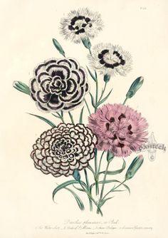 Antique Prints by Jane Loudon