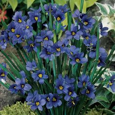 Perennials Blue-Eyed Grass 'Lucerne' - Foolproof grassy perennial with yellow-eyed blue blooms in spring and summer. Flowers Perennials, Planting Flowers, Long Blooming Perennials, Flower Gardening, Shade Garden, Garden Plants, Fruit Garden, Grass Seed, Ornamental Grasses