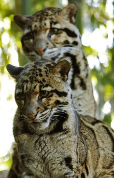 Clouded Leopard and Cub