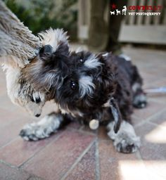D'Ogi by Cowbelly Pet Photography #Miniature #Schnauzer