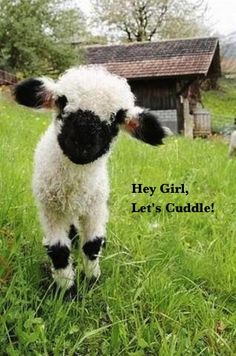 Hey Girl, cute lamb