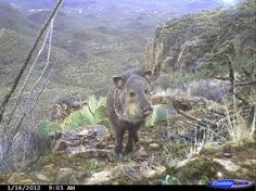 Fun pictures from the wildlife cameras at Saguaro National Park in Tucson, AZ