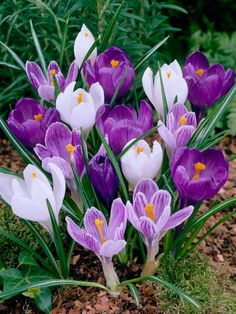 bcf13c5451b2 Crocus Large Flowering Mix Value Pack -- Bluestone PerennialsPlant in fall  in well-drained