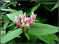 Flowers of Lonicera Henryi