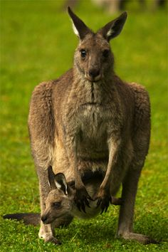 Kangaroo and Joey – Iconic Australia image by Dr. Joseph McGinn –See Wonders of Australia slideshow at http://www.examiner.com/slideshow/wonders-of-australia