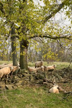 I need some land that looks like this. Complete with sheep. <3 Country Living ~ sheep