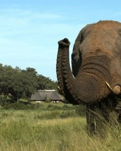 I have seen elephants on safari while I was teaching in Uganda and it was one of the most amazing experiences of my life. #JSElephant