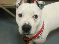 GONE - 03/02/15 Brooklyn Center  My name is TAZ. My Animal ID # is A1028613. I am a male white and black am pit bull ter mix. The shelter thinks I am about 7 YEARS old.  I came in the shelter as a OWNER SUR on 02/23/2015 from OUT OF NYC, owner surrender reason stated was ATT PEOPLE. https://m.facebook.com/photo.php?fbid=967205946625618&id=152876678058553&set=a.915753675104179.1073743299.152876678058553