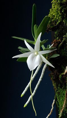 Nature's beauty - angraecum didieri