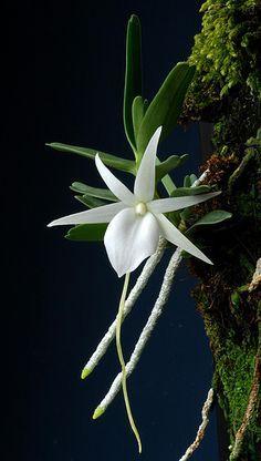 Nature's beauty - angraecum didieri