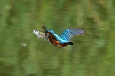 Big Fish ! , Kingfisher by Mubi.A
