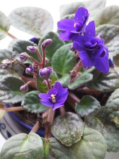 Easy To Grow Houseplants Clean the Air Offering Plant Care Advice On How To Help Your African Violets Bloom Every Week Via The Spirited Violet Outdoor Plants, Garden Plants, Plants Indoor, Flowering House Plants, Indoor Herbs, Roses Garden, Fruit Garden, Air Plants, Herb Garden