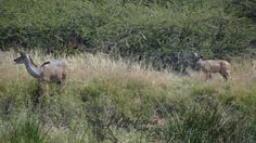TOUCH this image: Kudu and Calf - Xombana dam,DinokengGameReserve by Xombana