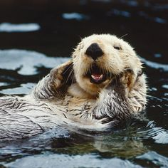 """""""Oh my gosh I thought it was Saturday"""" #JustWokeUpFace 😴 . . . . . . #seaotter #ottersofinstagram #otters #sleepy #animals #animalsmood #animallover #sea #pup #relaxing #endangeredspecies #cute"""