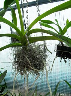 "DIY ::  WIRE BASKET PLANTERS :: Wire Orchid Baskets :: Orchids like vandas like to be in wood or wire baskets. Make one from hardware cloth (grid wire...comes in rolls) & hang with straight galvanized wire or chains like pictured here. :: These types of ""pots"" allow for good aeration & root contact w/ the air/humidity 