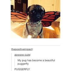 tumblr • funny • pugs • dogs • puppies • cute • butterflies • wings • awww • haha • lol • puns • text posts